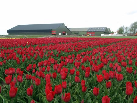Wit-Flowerbulbs tulpen bedrijf in Moerbeek