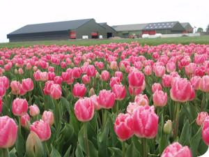 wit flowerbulbs tulpen bedrijf in de moerbeek