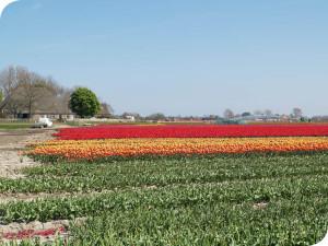 tulpen vanuit de broeierij van wit flowerbulbs bv