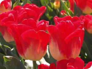 tulpensoort van wit flowerbulbs bv