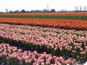 assortiment Wit Flowerbulbs bv culitvars tulpen is groot, waaronder Dynasty, Milkshake, Tresor