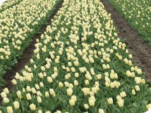 assortiment tulpen van wit flowerbulbs bv op het land
