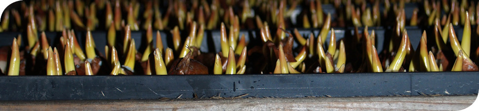 broeien tulpenbollen Wit-Flowerbulbs