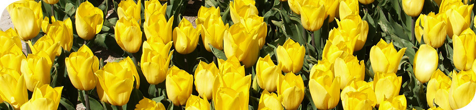 Wit-Flowerbulbs tulp Strong Gold