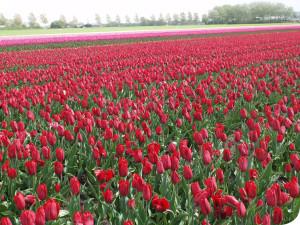 diverse soorten tulpen, vacatures bij wit flowerbulbs bv