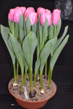 Tulip Tresor